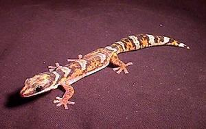 Northern Velvet Gecko - Lovely Striped patterns, and orangey colour