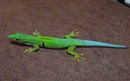 Peacock Day Gecko - This one is cool for obvious reasons, neon colours.