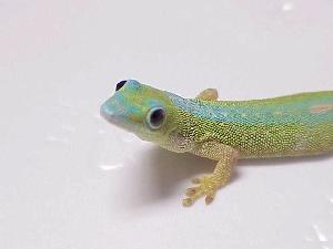 Robert Mertons Day Gecko - This ones small head and button eyes, plus reflective skin looks cool.