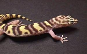 Tuscan Banded Gecko