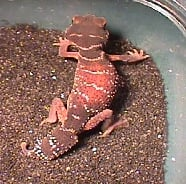 Knob Tailed Gecko - Beautiful Red Colours - But not dangerous, kept as pets