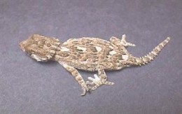 Helmetted Gecko - Again looks like Bearded Dragon