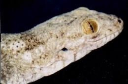 Boivini's Velvet Gecko