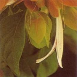 The true flower of the shrimp plant  is white.