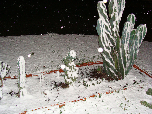 Houston Snow on a Cactus