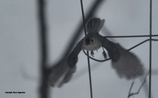 A tufted titmouse takes flight. It's wings are caught fully extended by about a 250th of a second exposure.