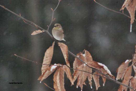 A finch waits on a beech branch as light snow flurries fall.