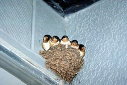 Nest of the swallow. Securely attached to the wall. Photograph-N.P.S.photo