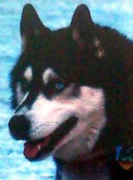 Blue eyed dog breeds - photo#14