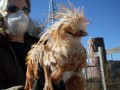 The Buff Laced Polish Rooster - An Update on a Strange Chicken's Well-Being