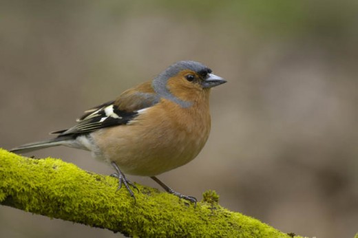 the chaffinch builds a beautiful nest. photo courtesy of TheGuardian