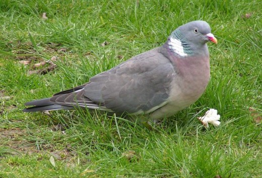 the nest of the wood pigeon is a flimsy affair. Photograph by Sannse.