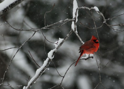 A cardinal warily sits on a branch near a feeder.