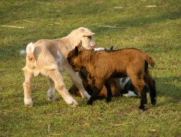 Baby goats play with each other. (Photo by Irum Shahid)