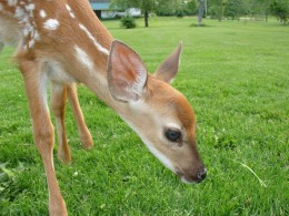 This little fawn was found abandoned.  (Photo by Carol Giffen)
