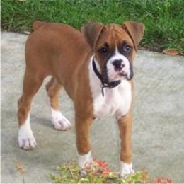 Brown Boxer Dog - Pictures