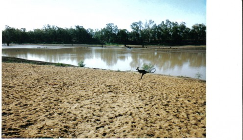 This kangaroo crossed the river to head for the Riverview Pub