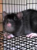 Creating the Perfect Rat Set-Up