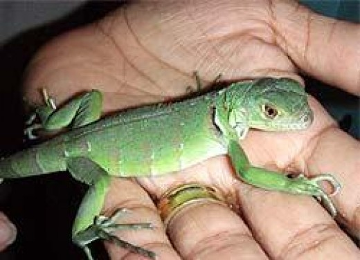 Here is a Green Iguana baby. Yes they are really cute at that age but keep in mind that when full grown your Iguana will be 4-6 feet long and will require two people to handle at that size. Are you sure you want a pet Iguana when it grows up.