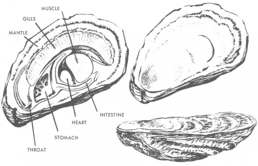 Parts of the Oyster.