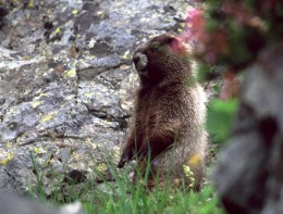 A marmot sits up to check us out along the trail.