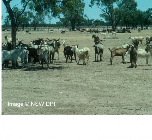 Feral Goats near Bourke