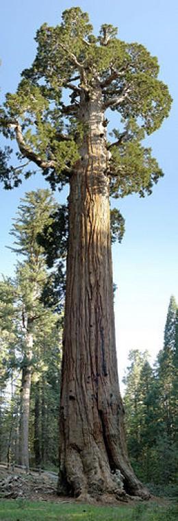General Grant Tree.  Public Domain