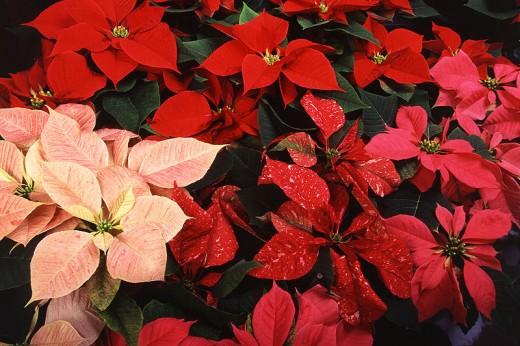 Poinsettias.  Public Domain