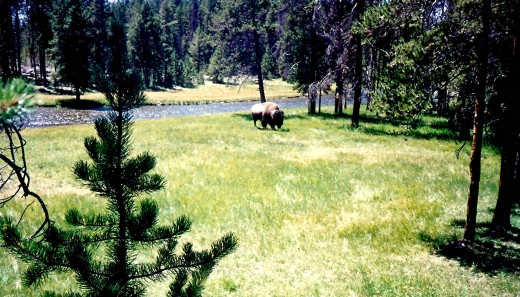 Buffalo grazing in Yellowstone
