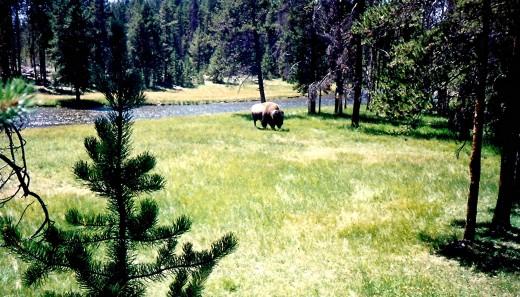 Buffalo grazing in Yellowstone