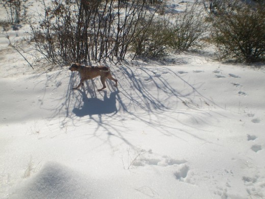 Lucky running in the snow.