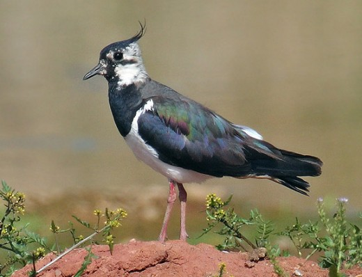 The green plover or lapwing is facing serious declines in the U.K. photograph by Andreas Trepte.
