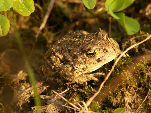 NATTERJACK TOAD IS  A SCHEDULE 5 SPECIES.PHOTOGRAPH BY PIET SPAANS