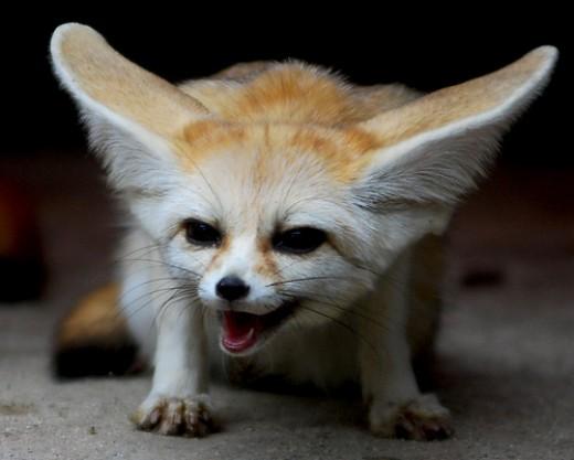 فقرة صورة ومعلومات حيوان ثعلب الصحراء (الفنك) 2289249_f520.jpg