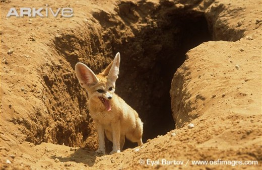 فقرة صورة ومعلومات حيوان ثعلب الصحراء (الفنك) 2289262_f520.jpg