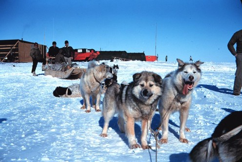 Sled dogs training for the Iditarod. Many people oppose running dogs in sled races and even working animals on farms.