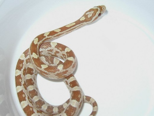 Here is an Amber Corn Snake