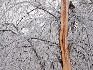 Trees splinter and break, falling across power lines causing massive power outages.