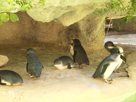 Little penguins at the Perth Zoo