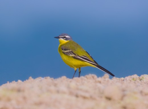 The yellow wagtail is now a priority Species of Conservation Concern. Photograph by Andreas Trepte.