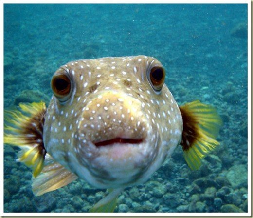 get a kiss from the puffer fish