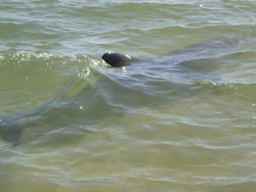 Dolphins swimming about 30cm away at Koombana Bay, Bunbury