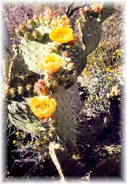 Prickly Pear cactus in bloom