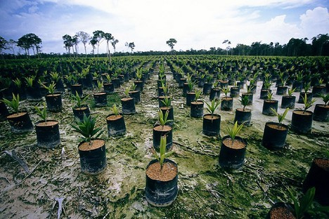 Destruction of Indonesian and Malaysian rainforests for palm oil plantations
