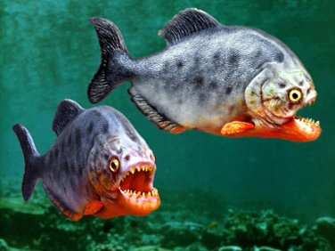 Piranha Fish - photo credit -    http://www.tvgasm.com/newsgasm/piranha.jpg