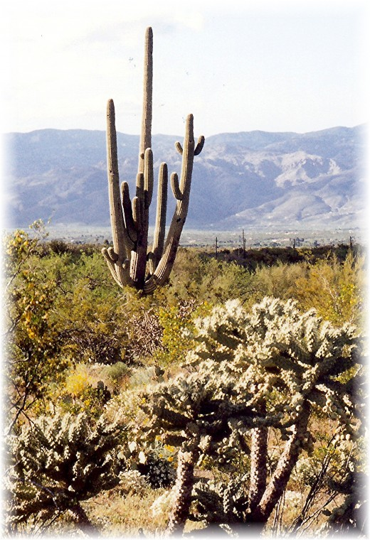 Tall multi-branched saguaro with teddy bear cholla cacti in the foreground