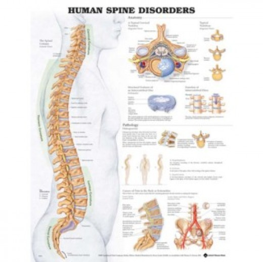 For understanding the importance of artificial disc replacement, it is really important to understand the Anatomy of Human Spine and Role of Intervertebral Discs