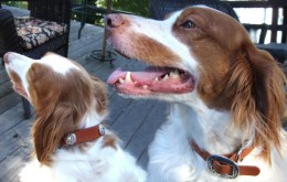 Looking Cool in their New Leather Collars