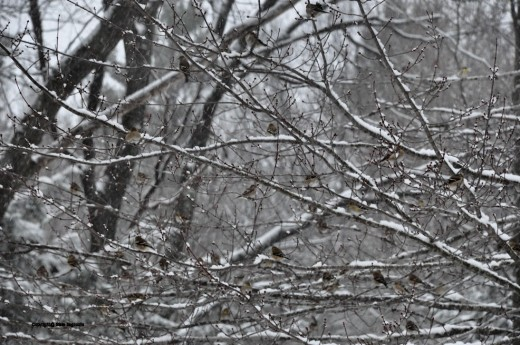 Snow -- and finches -- cover branches of a maple tree near the feeders.
