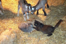 The short-eared kids are cross-bred with LaMancha goats.